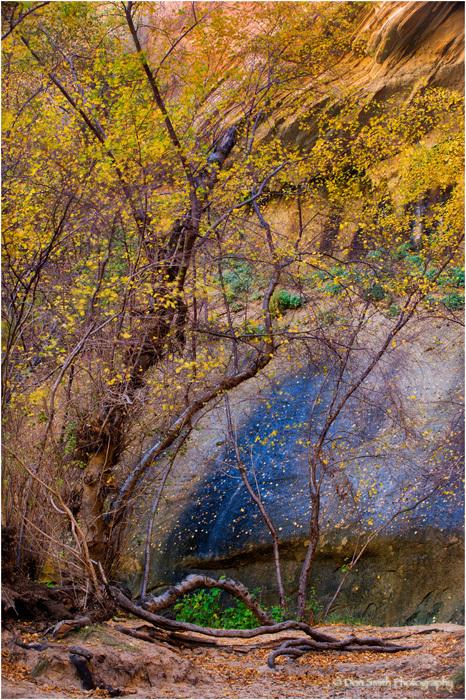 Small birch, Escalante National Monument