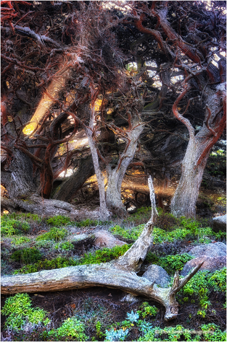 Sun shafts through Monterey Cypress, Point Lobos.