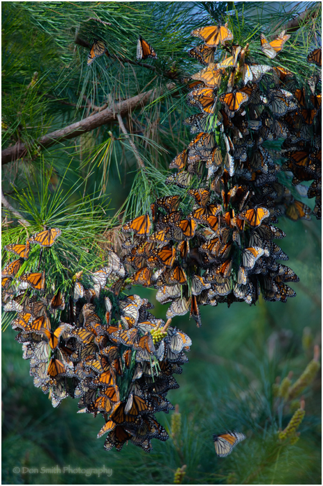 Clusters of Monarch Butterflies, Pacific Grove, Ca