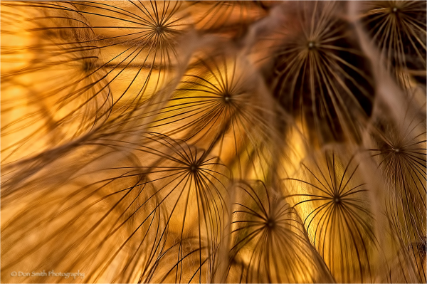 Nature's design  - backlit salsify.