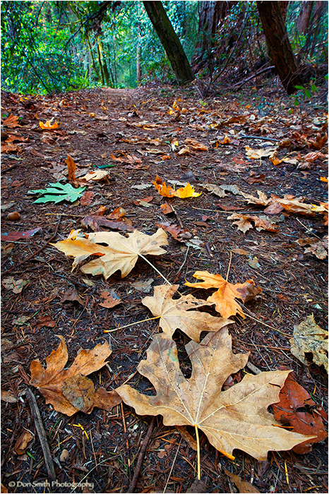 Fall leaves and foot path, Nisene Marks SP.