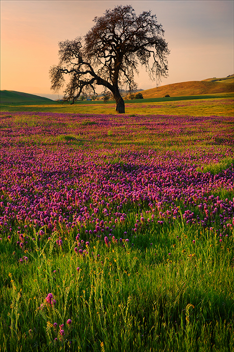 Owl's Clover and lone oak.