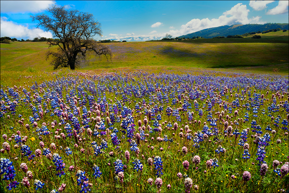 Field of lupine and California Oak