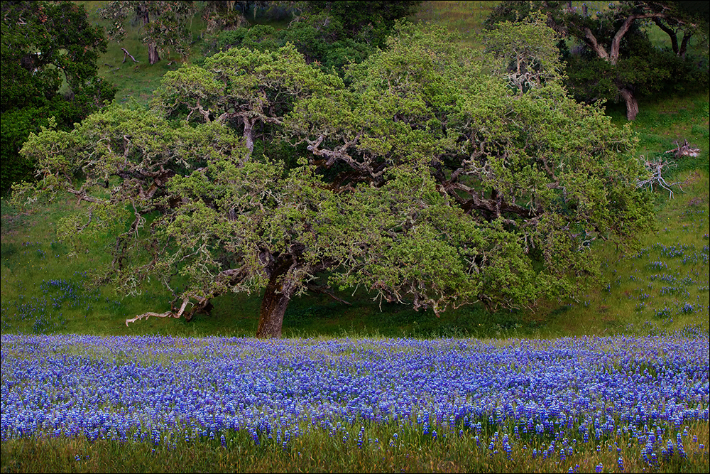 A meadow of lupine and oaks, Monterey County, CA.