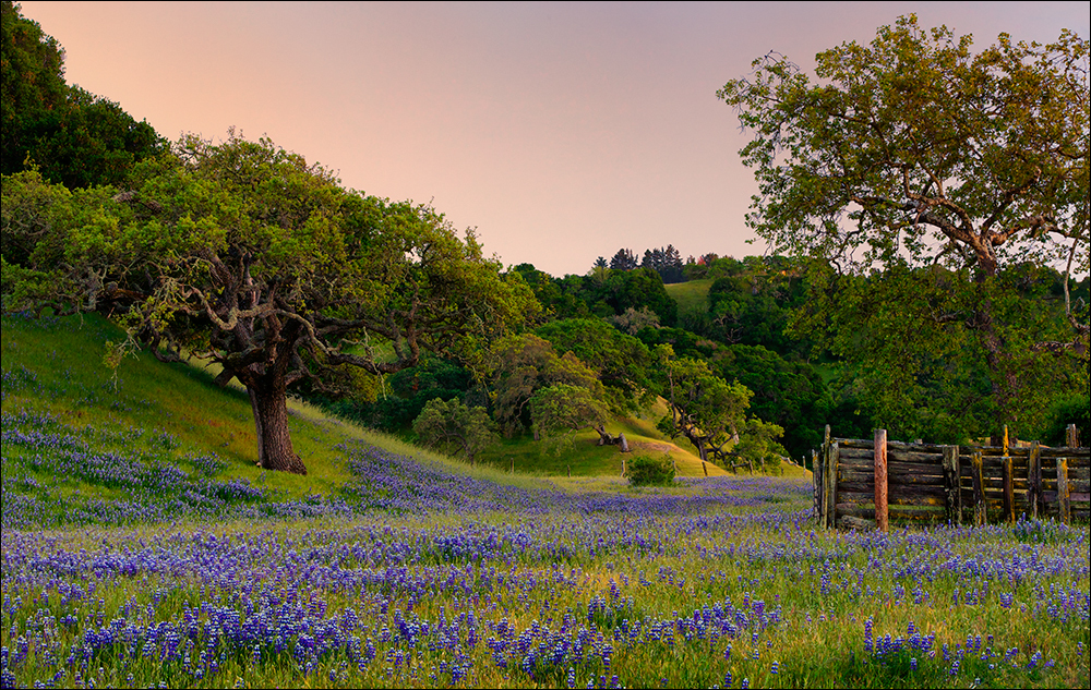 Spring lupine and oks, Monterey County, California
