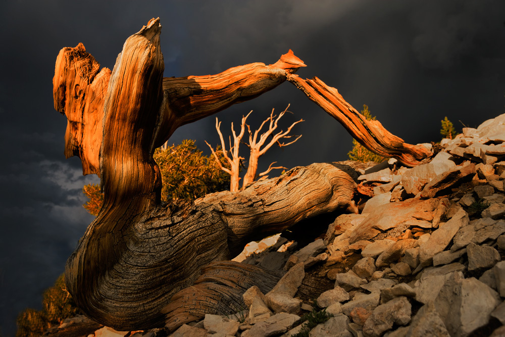 Thunderstorm skies and old-growth bristlecone pine