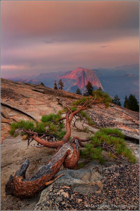 Jeffrey Pine and Half Dome, Yosemite, alpenglow, s