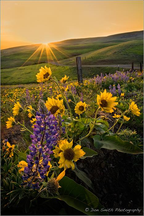 Balsamroot, Lupine and Setting Sun, Washington