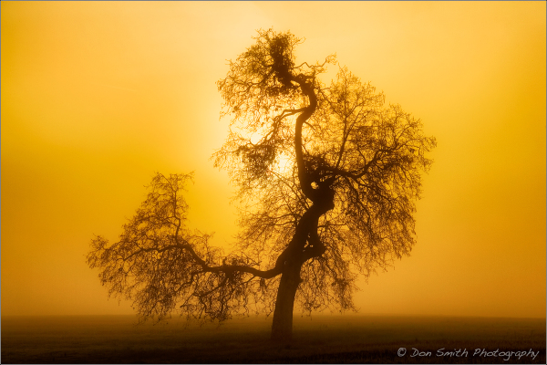 Oak and Fog at Sunrise