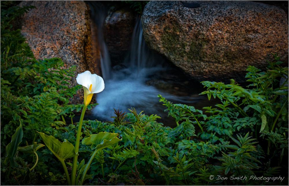 Rebirth, Calla Lily, Garrapata State Park, Big Sur