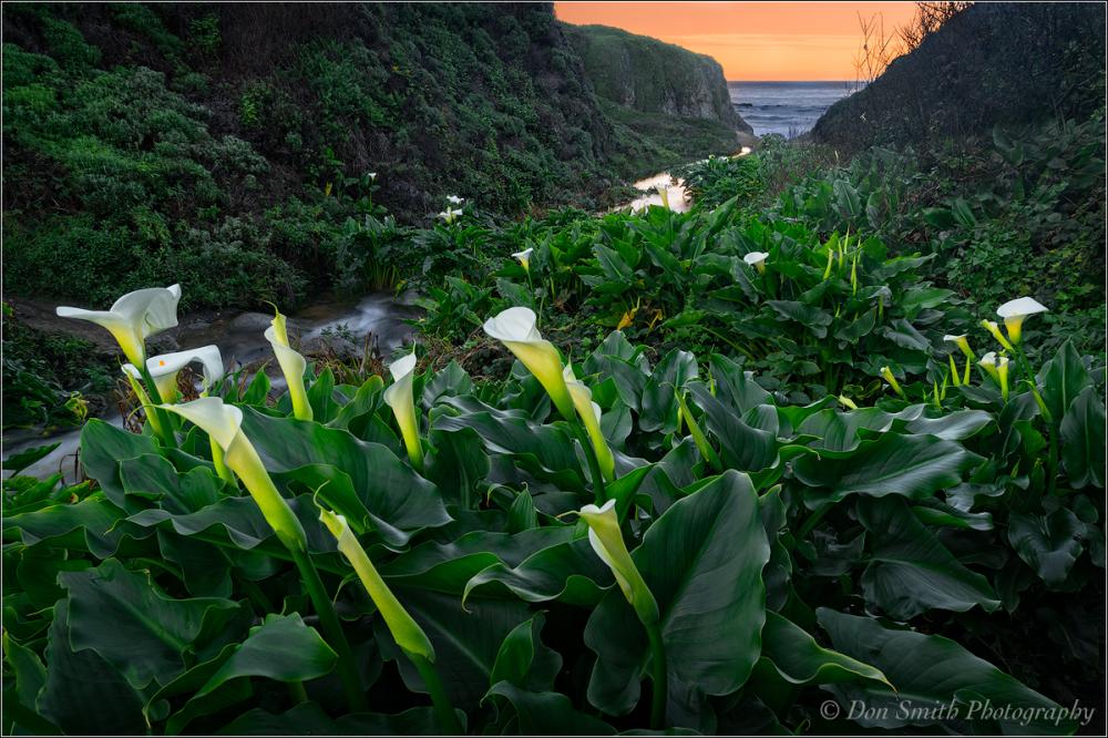 Calla Lilies, Big Sur Coast