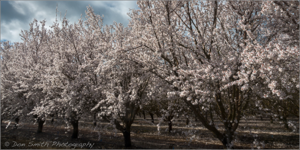 Almond Blossoms, Merced, California
