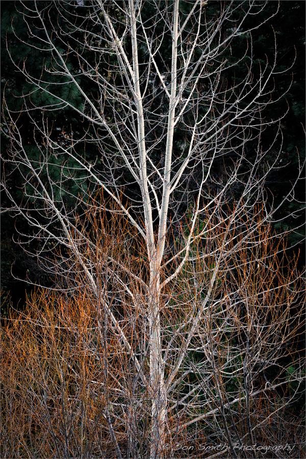 Cottonwood and Creek Dogwood, Yosemite NP