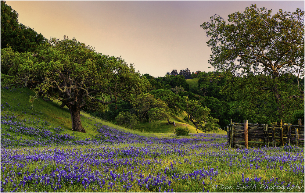 Lupine and Oaks, Monterey Hills