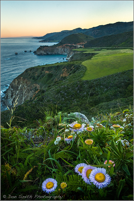Sea Daisies at Hurricane Point at Big Sur