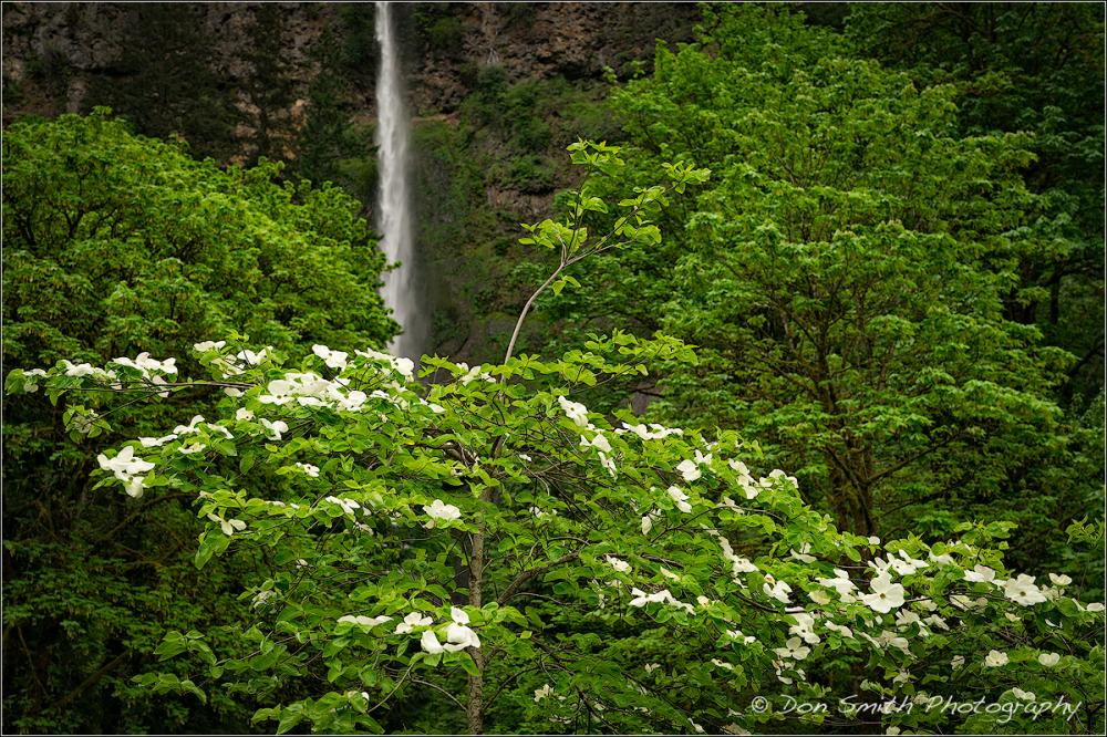 Dogwood and Multnomah Falls