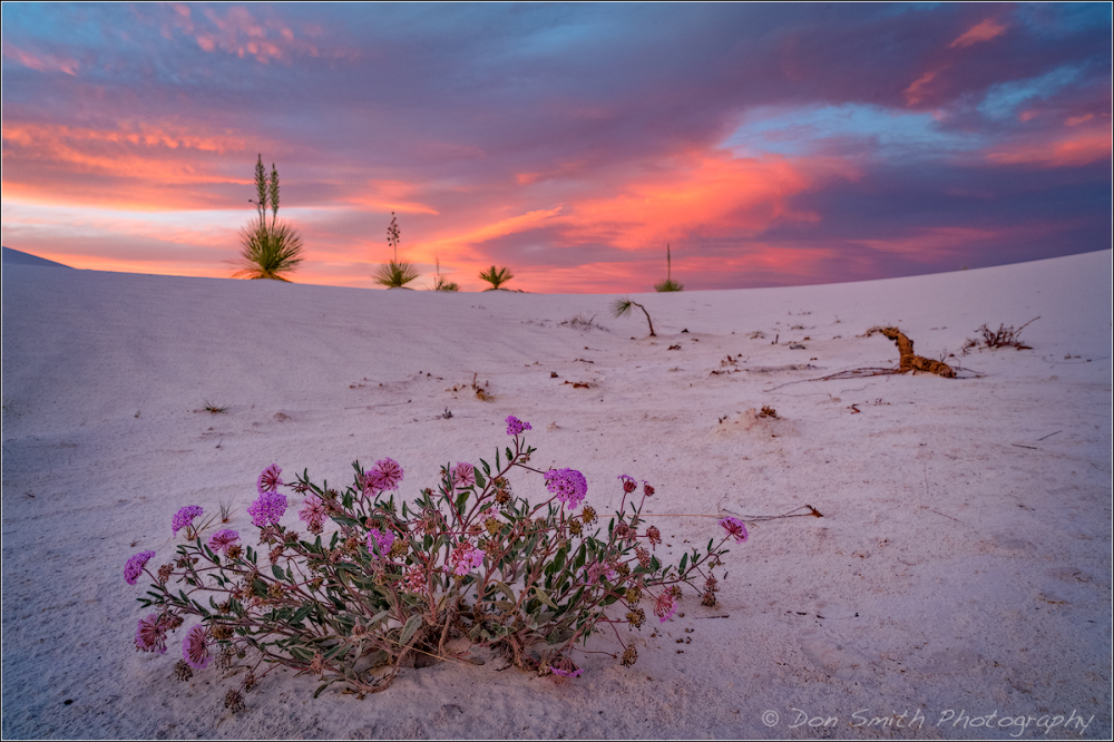 Verbena and Yuccas, White Sands NM