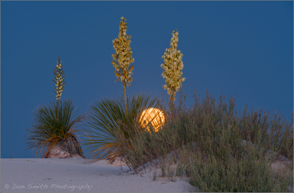 Moonset Behind Yuccas, White Sands