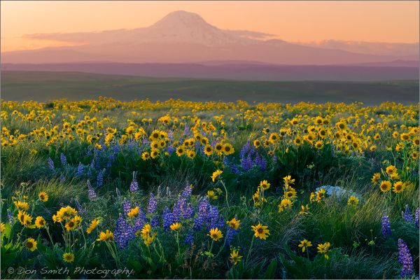 Wildflowers and Mt. Adams, Washington