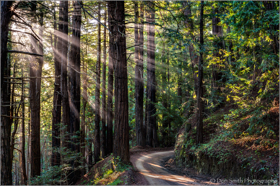 Sunbeams Through Redwoods, Big Sur