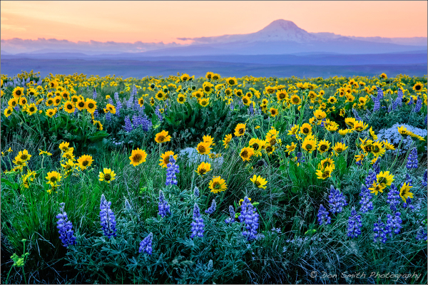 Balsamroot, Lupine and Setting Sun, Washington