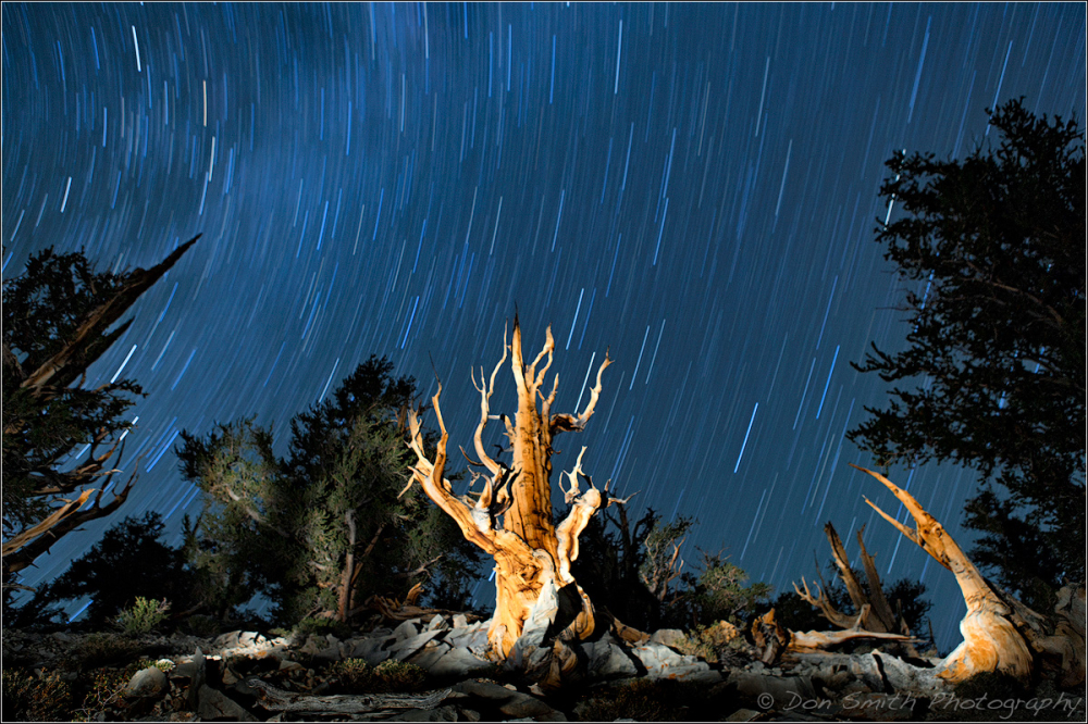 Ancient Bristlecone Pine and Star Trails