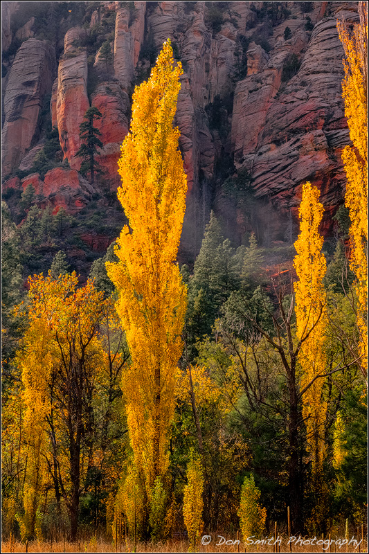 Poplars in Oak Creek Canyon, Arizona