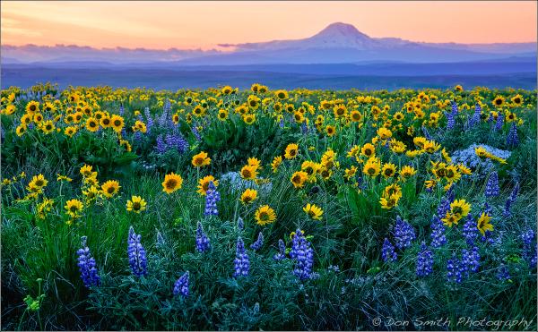 Wildflwoers and Mt Adams