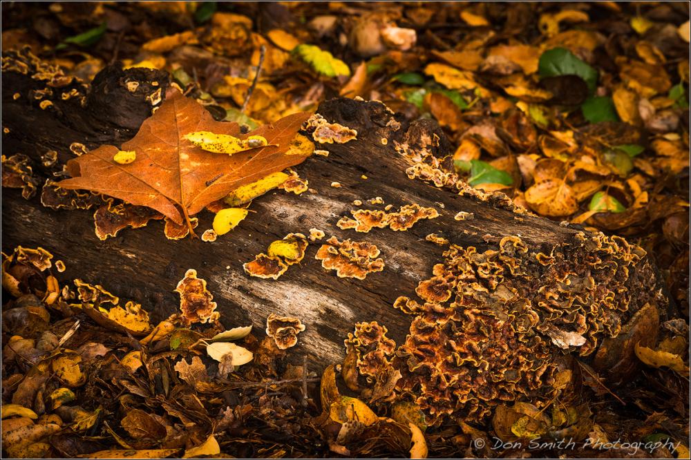 Dried Leaves and Algae on Log, Pinnacles NP