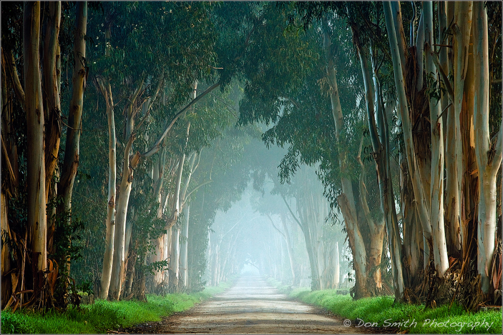 Eucalyptus Tree Tunnel and Fog, California