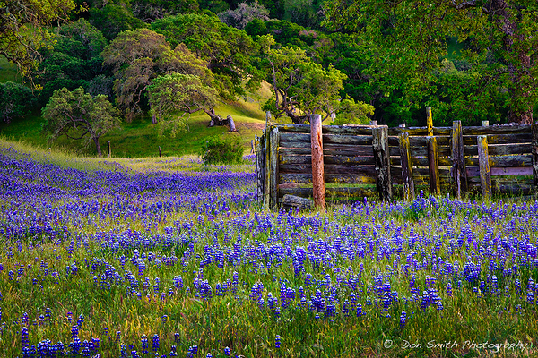 Spring Hills and Lupine, Monterey, California