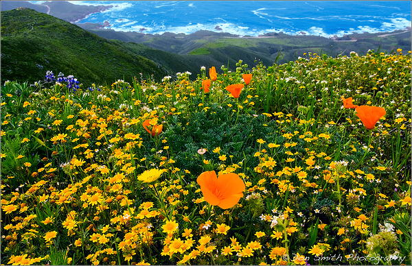 Wildflowers and Big Sur Coast