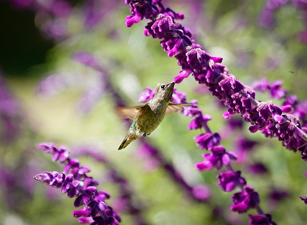 Hummingbird Happiness in Santa Barbara