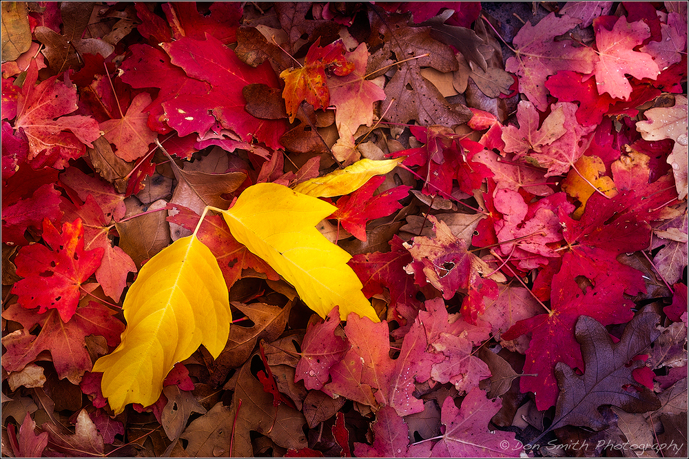 Fall Leaves, Zion National Park