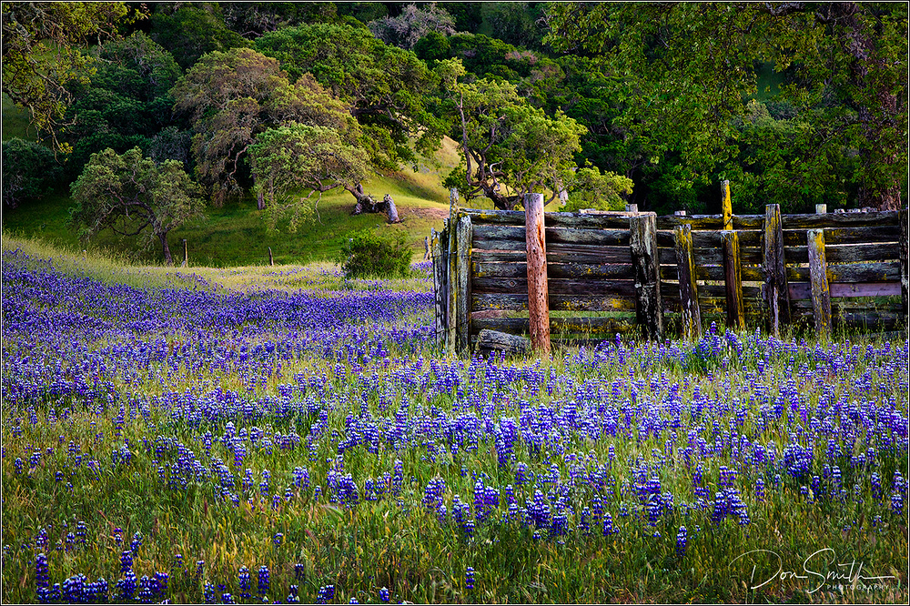 Lupine field, monterey county, california