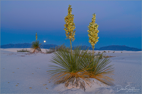 Moonset and Yuccas, White Sands, New Mexico
