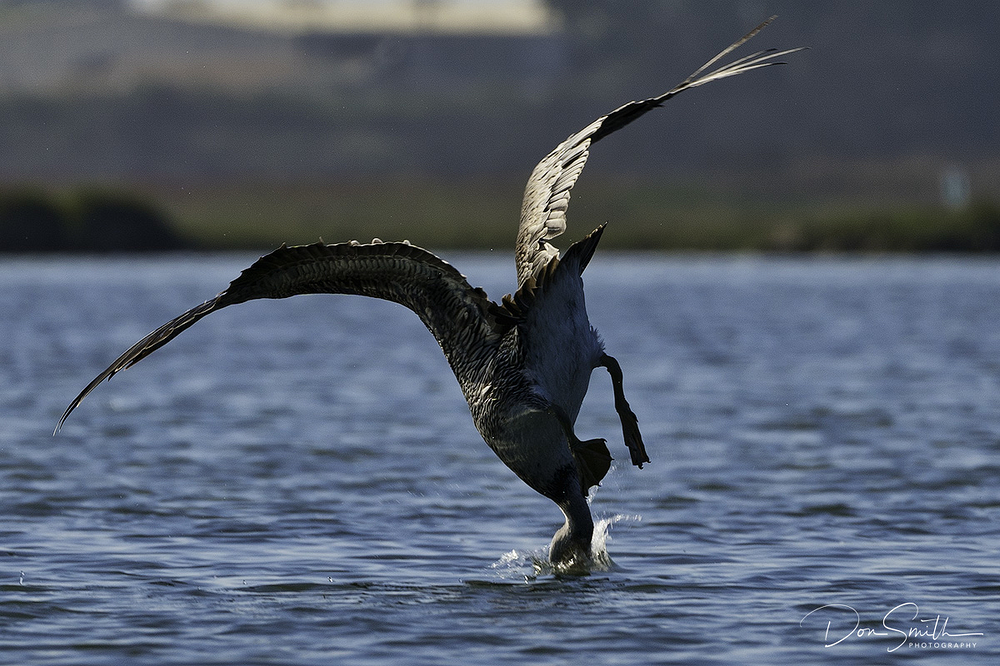 Brown Pelican Dive at Elkhorn Slough, Moss Landing