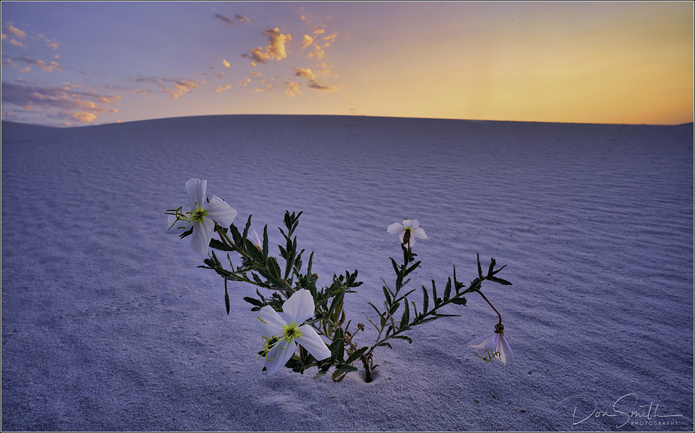 Pale-Evening Primrose, White Sands NM