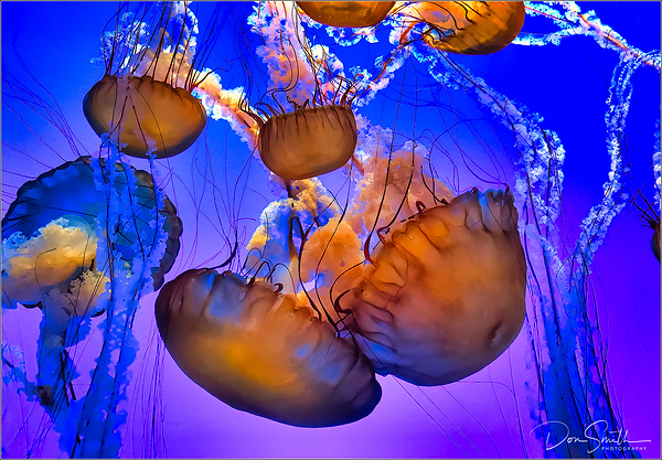 Sea Nettle Jellies, Monterey Bay Aquarium