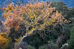 Coast Live Oak, Santa Clara Valley, California
