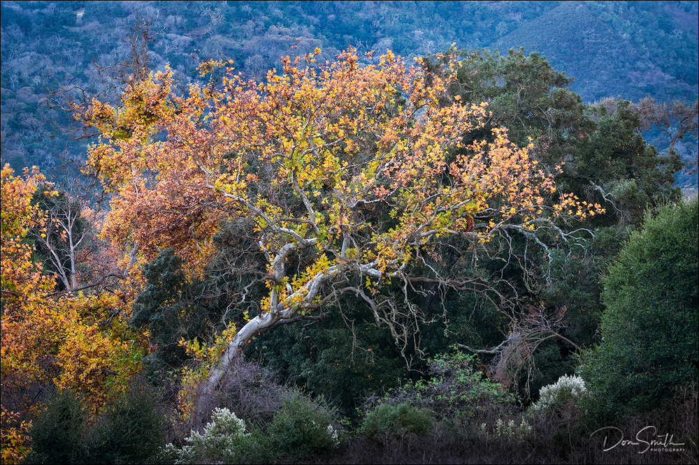 Coast Live Oak, Santa Clara Valley, California