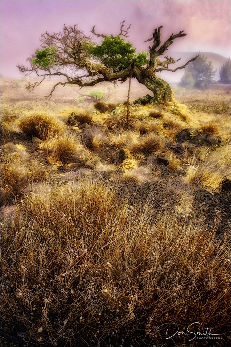 Withering Tree, Volcanoes National Park