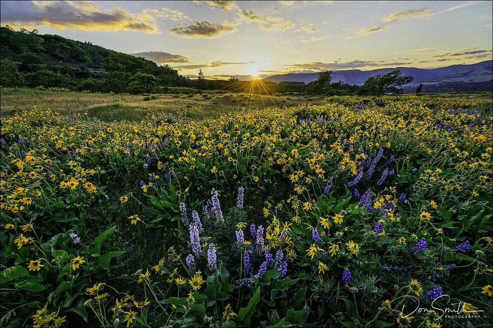 Wildflowers at Sunset, Rowena Crest, Oregon