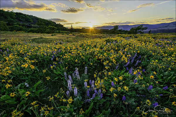 Wildflowers at Sunset, Rowena Crest, Oregon