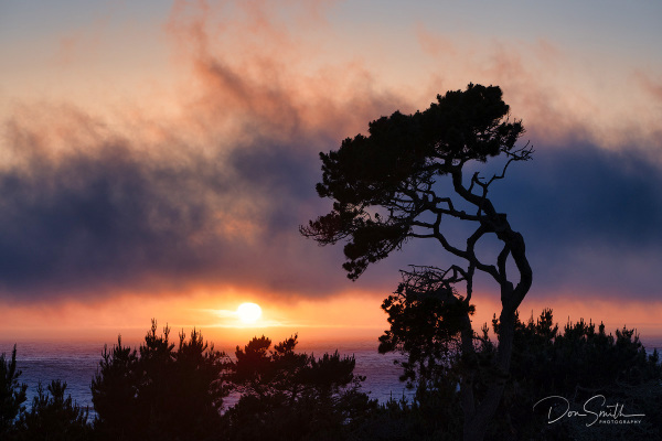 Wind-Bent Monterey Cypress at Sunset