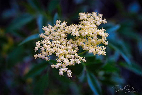 Blue Elderberry, Pinnacles National Park, CA