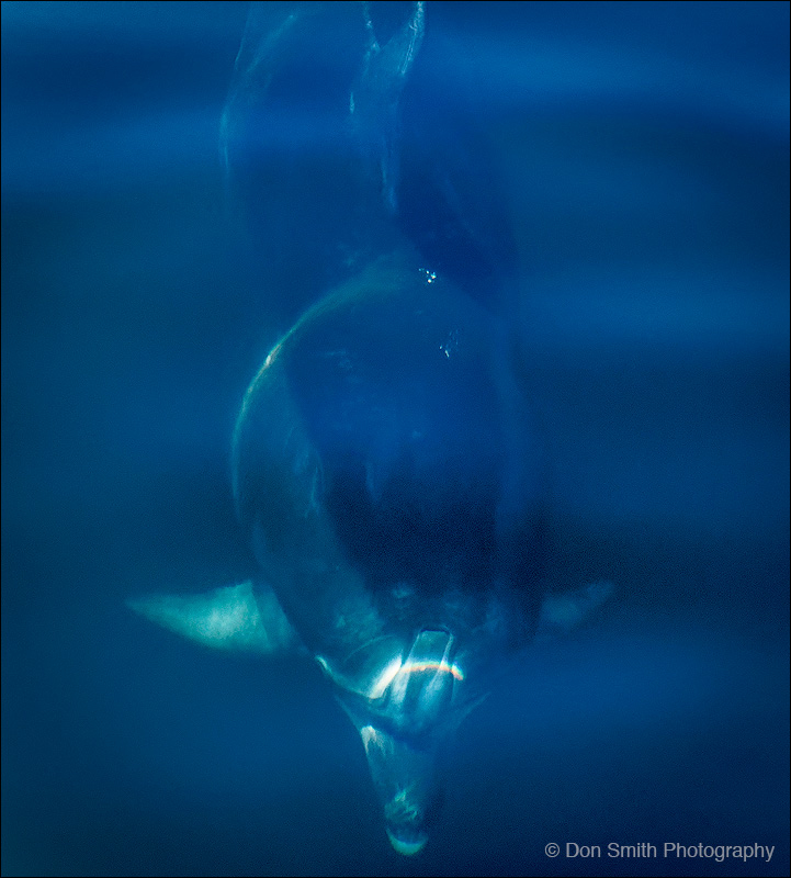 Bottlenose Dolphin, Doubtful Sound, NZ
