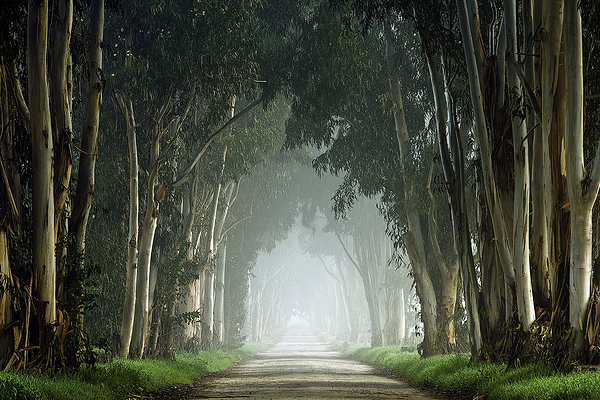 Eucalptus Trees and Fog, San Benito County