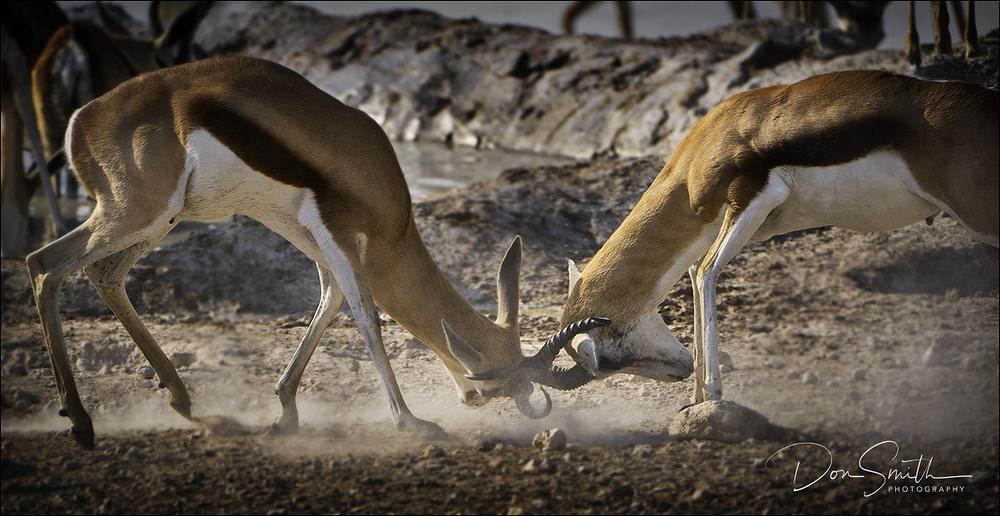 Dueling Springbok, Etosha, Namibia, Africa