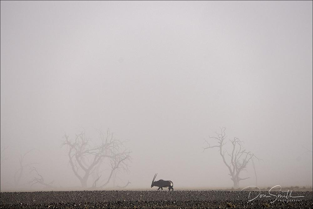 Oryx in Namibian Sandstorm, Sossusvlei NP